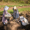 Harvesting potatoes in the Fossebrekke garden.
