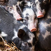 Young piglets try to keep warm by huddling together.