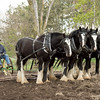 A team of four Clydesdale horses prepare a field for spring planting.