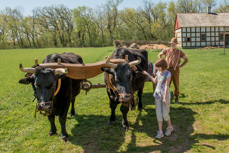 A young visitorlearns how to drive a team of oxen on the Schulz farm.