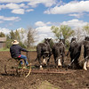 A tean of four Clydesdale horses prepare a field for spring planting.