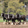 A team of four Clydesdale horses prepare tbe field for spring planting.