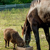 Buddy (the sheep) and Sam (the horse) share a meal together.