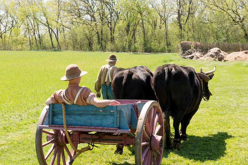 A farmer hitches a ride from a team of oxen.