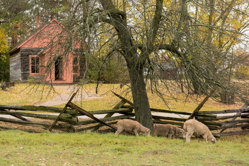 Sheep graze in a pasture in front of the one room Raspberry schoolhouse built in 1896.