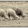 Sheep at the Kvaale farm in the Norwegian area.