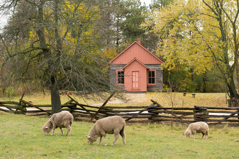 Sheep graze in front of the one-room Raspberry schoolhouse in the Norwegian area.