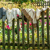 Laundry drying on the fence at the Schottler farm.