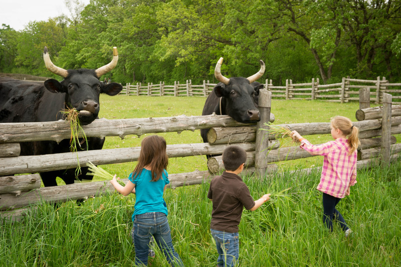 Children feed oxen at the Schulz farm in the German area.