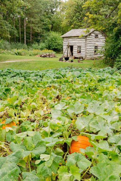 Pumpkin patch at Fossebrekke farm in the Norwegian area.
