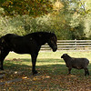 """Sam,"" a horse and ""Buddy,"" a sheep are good friends.  They share a pasture and always follow each other around."