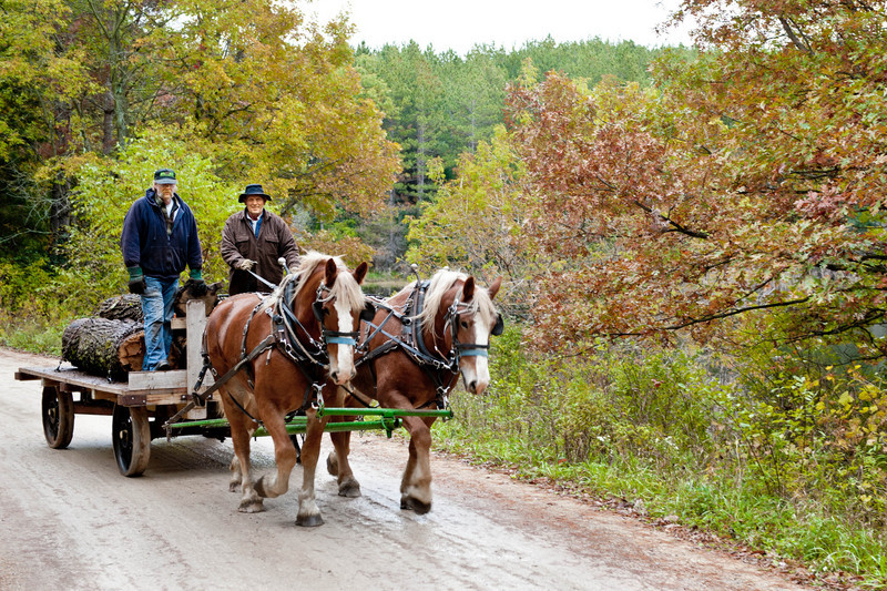 A team of draft horses hauls a load of logs on a rainy day in the German area.  The logs will be cut up and made into lumber at the portable steam powered sawmill during Autumn on the Farms, a special event at Old World held ech year in October.