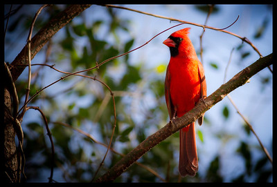 Sitting pretty a male cardinal