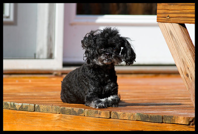 Bailey at 11 yr old - Havanese