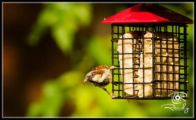 House Sparrow on Suet Feeder