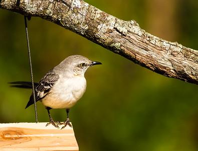 Mockingbird with the look