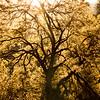 Cook's Meadow Elm