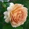 Fri 9-23-05 Rose Honey Perfume