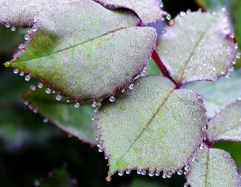 Thu 9-28-05 Dew Drops on Rose Petals