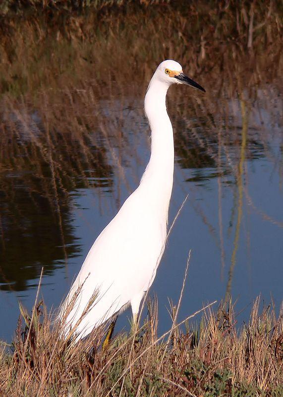 Wed 9-27-05 Egret