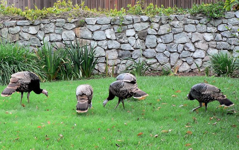 Sun 11-13-05 5 Turkeys in the Yard