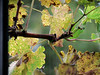 Tue 11-8-05 - Grape Vine thru the Window