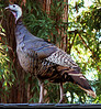 Sun 11-13-05 Turkey on the Roof<br /> <br /> This guy landed on our roof! Then he and 4 of his friends flew down to the front yard and hung out for a while . . .