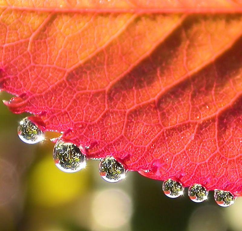 Sat 10-29-05 San Francisco - Dew Drops on Rose Petal