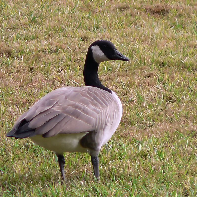 Wed 10-19-05 Strawberry - Canada Goose