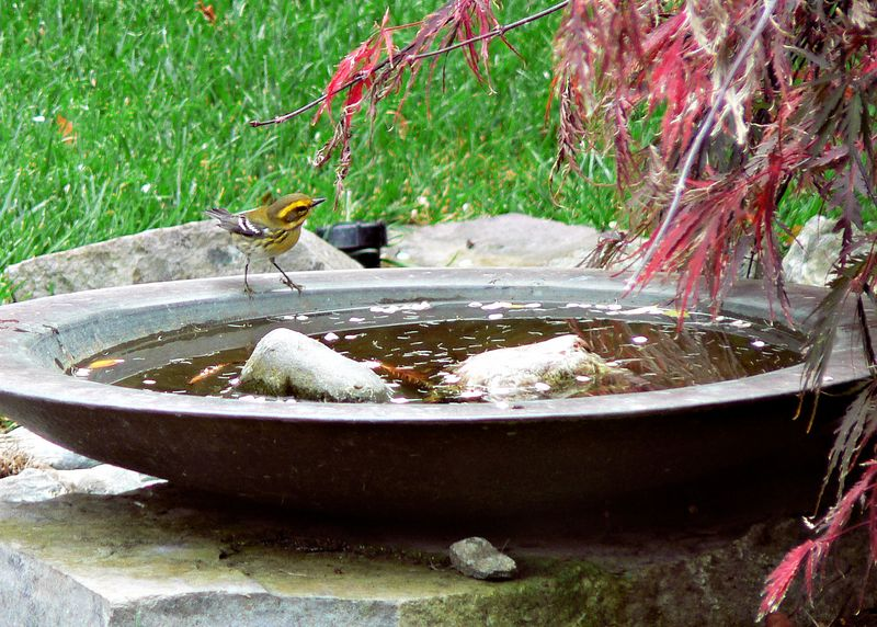 Thu 10-20-05 Backyard - Yellow Bird