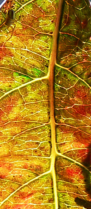 Wed 10-19-05 Natures Colors - Dogwood Leaf with Spider