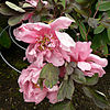 Fri 04-14-06 - Peony Before Another Rain