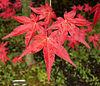 Sat 04-08-06 - Japanese Maple