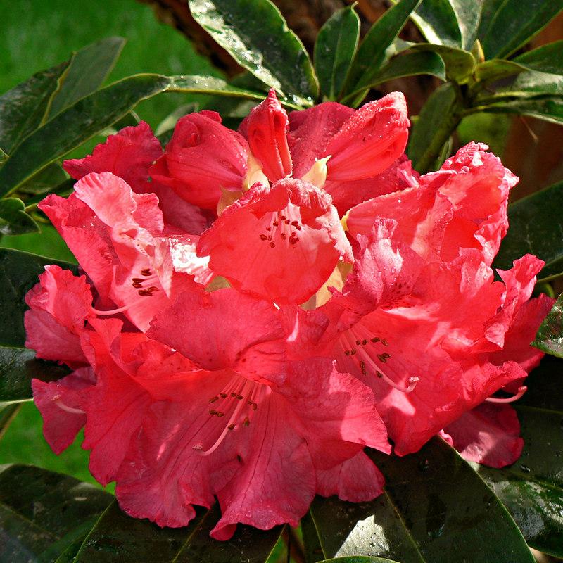 Mon 04-17-06 - Sunny Morning in the Yard - Rhody Full Bloom