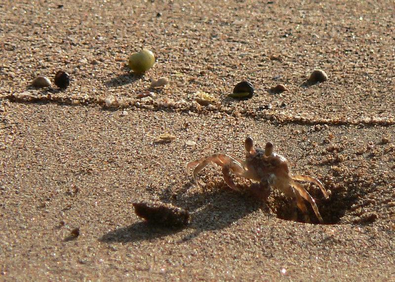Maui-Monday Beach Critter