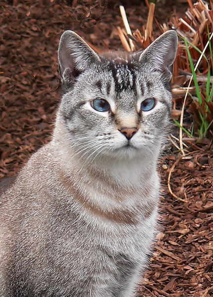 Fri 06-08-18 Blue Eyed Cat