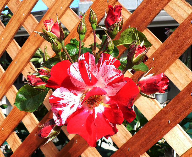 Tue 06-08-22 Rose Fourth of July