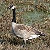 Tue 02-28-06 Rainy Day - Canada Goose