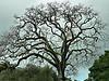 Tue 02-28-06 Rainy Day  - Oak Tree and Dark Skyjpg