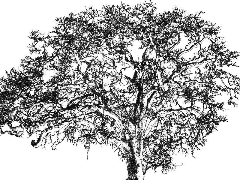 Tue 02-28-06 Rainy Day - Oak Tree Drawing