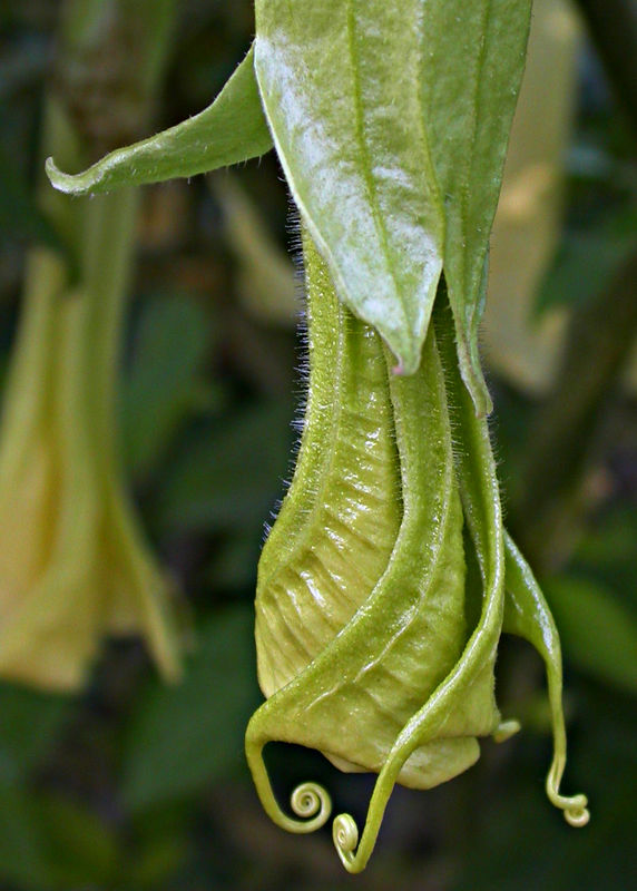 Mon 01-23-06 Bell and Back - Brugmansia