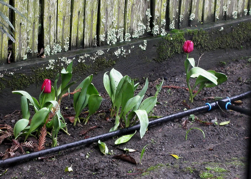 Sun 1-01-06 January Tulips