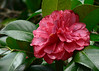 Wed 01-18-06 Neighborhood Walk - Camellia
