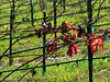 Sun 01-22-06 Sonoma Winter Vines