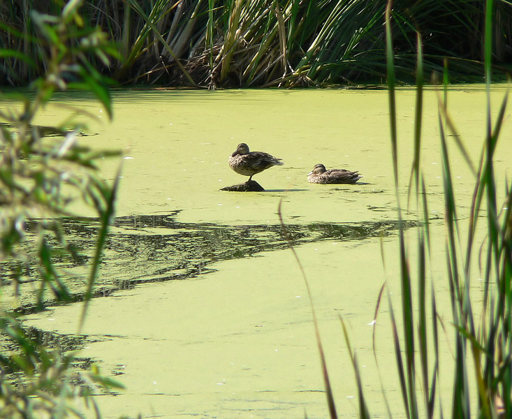 Tue 06-07-18 - Larkspur Landing - Ducks on a pond