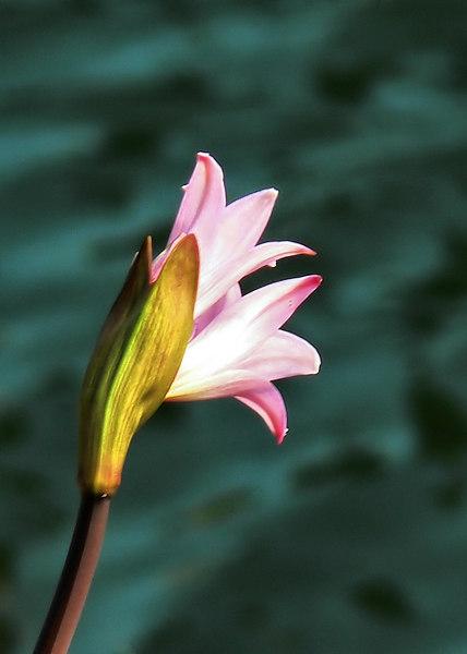 Fri 06-07-28 - Pink Lady