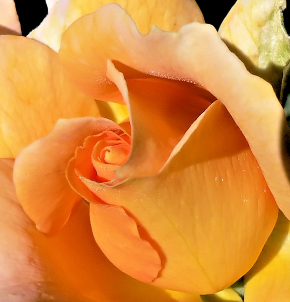 Mon 06-07-17 Roses - Honey Perfume