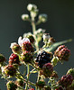 Mon 06-06-26 First Blackberries