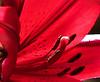 Thu 06-08-05 Burgundy Lily