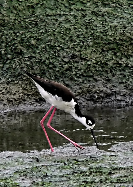 Fri 06-06-30 Black-necked Stilt